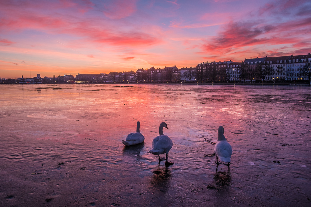 swans in copenhagen on the ice in a sunset